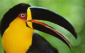 Toucans close-up HD Fonds d'écran