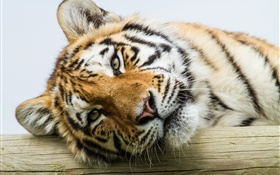 Amur visage de tigre close-up HD Fonds d'écran