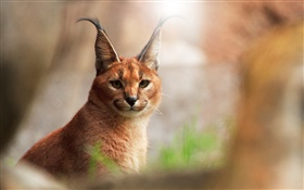 animaux close-up, chat caracal HD Fonds d'écran