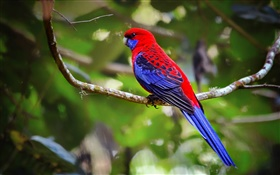 Crimson Rosella perroquet HD Fonds d'écran