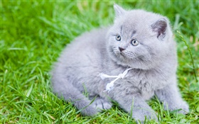 Gris British Shorthair, chat, herbe verte HD Fonds d'écran
