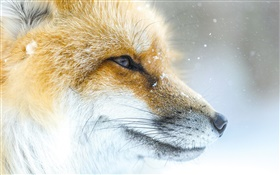 fox Animal close-up, visage, hiver HD Fonds d'écran