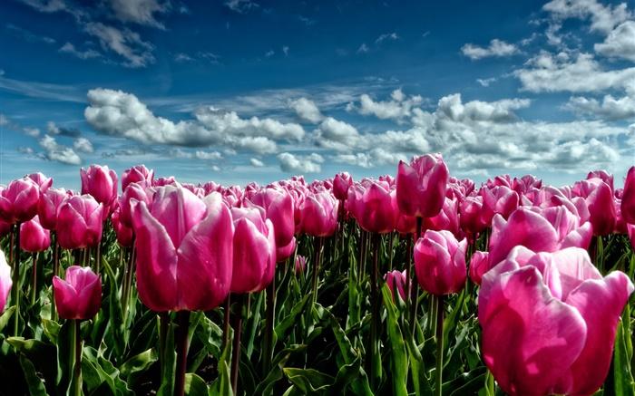 printemps tulipes pourpres champ de fleurs hd fonds d 39 cran fleurs fond d 39 cran aper u. Black Bedroom Furniture Sets. Home Design Ideas