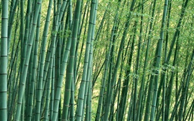 Bamboo close-up, la forêt, l'été HD Fonds d'écran