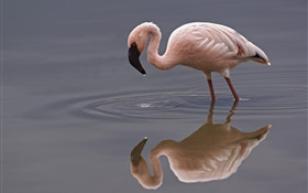 Solitaire flamingo HD Fonds d'écran