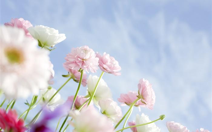 Wall Paper Wide Pink Rose Colours Soft Nature Flower: Oeillets Roses Fleurs HD Fonds D'écran