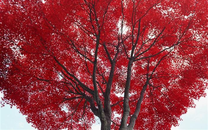 Arbre, feuilles rouges, automne HD Fonds décran  nature