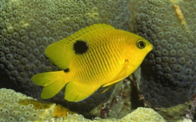 poisson clown jaune