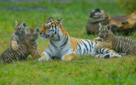 Tigers famille, herbe, grands chats